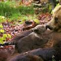 Νεκρή αρκούδα από κυνηγετικό όπλο μεταξύ Πλαγιάς και Δροσοπηγής - Είχε γεννήσει πρόσφατα και θήλαζε